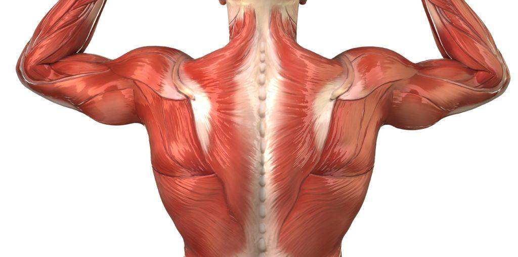 背筋群の解剖図(脊柱起立筋)