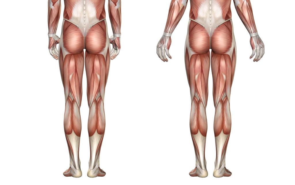 筋肉の解剖図