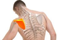 白で隔離肩甲骨人間解剖学